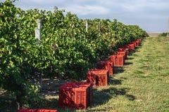 Weinberg, der Jahreszeitvorbereitungen mit der roten colecting Traube erntet lizenzfreie stockfotos
