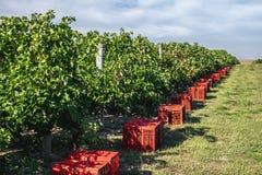 Weinberg, der Jahreszeitvorbereitungen mit Kästen der roten Trauben erntet stockfotos