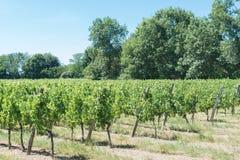 Weinberg für den Rotwein des Bordeaux Stockbild