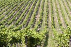 Weinberg in Frankreich Stockfoto