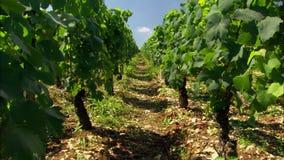 Weinberg in Frankreich-Reihen von Trauben auf Reben