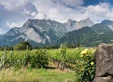 Weinberg hinten gestaltet durch gelbe Rosen mit Blick auf Berge stockfotos