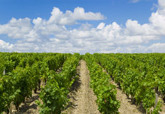 Weinberg im Bordeaux, Frankreich Stockbild