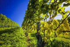 Weinberg im Fall eines Weinbauern Lizenzfreies Stockbild