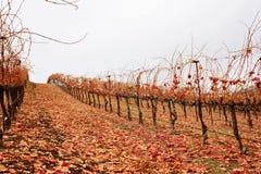 Weinberg im Herbst Stockfotos