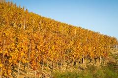 Weinberg im Herbst Stockfotografie