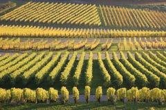 Weinberg im Herbst lizenzfreie stockbilder