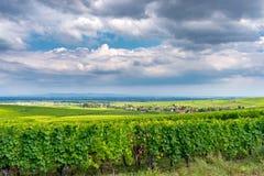 Weinberg im ribeauville, Frankreich stockfoto