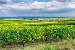 Weinberg im ribeauville, Frankreich lizenzfreies stockbild