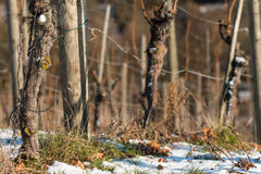 Weinberg im Winter mit alten Reben Stockbilder