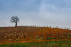 Weinberg im Winter in Toskana Stockfotografie