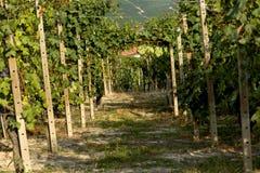 Weinberg in Italien Lizenzfreies Stockbild