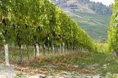 Weinberg in Italien Lizenzfreie Stockfotos