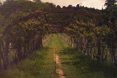 Weinberg in Kent, England stockbilder