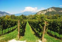 Weinberg in Lombardei, Italien lizenzfreies stockfoto