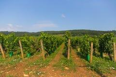 Weinberg mit blauem Himmel nahe Dijon stockfotos
