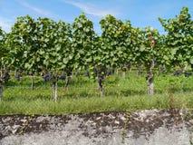 Weinberg mit blauen Weinreben Lizenzfreie Stockbilder
