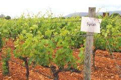 Weinberg mit den Trauben von Syrah, Spanien Stockfotografie