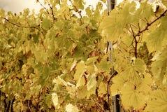 Weinberg mit gelben Blättern lizenzfreie stockfotografie