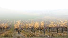 Weinberg mit Nebel Stockfotos