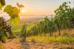 Weinberg mit Rebblättern und -Weinreben Stockfotos
