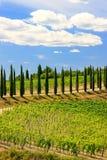 Weinberg mit Reihe von Zypressenbäumen in ` Orcia, Toskana, Ital Val d Lizenzfreies Stockbild