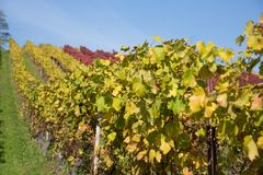 Weinberg mit Reihen von gelben, grünen und roten Rebstöcken mit Blauem lizenzfreies stockfoto