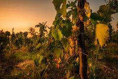 Weinberg mit Trauben morgens vor Ernte stockfotos