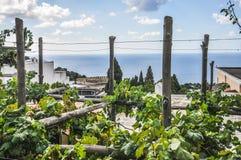 Weinberg mit Weintrauben, mit dem Meer von Capri im Hintergrund stockfotografie