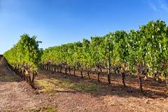 Weinberg nahe Montalcino, Toskana, Italien lizenzfreies stockfoto