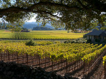 Weinberg in Napa Valley stockfotos
