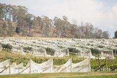 Weinberg Nord-Tasmanien stockbild