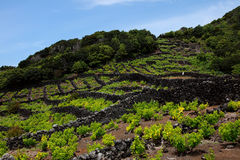 Weinberg in Pico, Azoren lizenzfreies stockbild