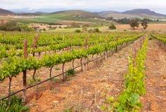 Weinberg in Südafrika mit Reihen der Anlagen Lizenzfreie Stockbilder