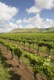 Weinberg in Santa Maria California Lizenzfreie Stockfotos