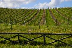 Weinberg, Sardinien, Italien Stockbilder