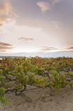 Weinberg am Sonnenuntergang Stockfotografie