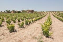 Weinberg in Spanien Stockbild