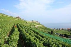 Weinberg-Terrassen von Lavaux in der Schweiz Lizenzfreies Stockfoto