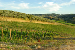 Weinberg in Toskana, Italien Stockbild