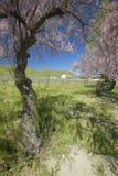 Weinberg und alte Scheune mit bunten Blumen, Kalifornien-Mohnblumen und rosa blühendem Baum weg von Shell Road, nahe Landstraße 5 Stockfotos
