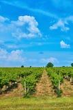 Weinberg und blauer Himmel mit Wolken Stockfoto