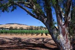 Weinberg und Eukalyptus Stockbilder
