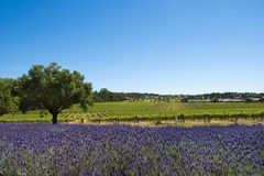 Weinberg und Lavendel, Barossa Valley, Australien stockfotos