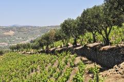 Weinberg und Olivenbäume lizenzfreie stockfotos