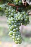 Weinberg und Trauben im Süden von Frankreich Lizenzfreie Stockbilder