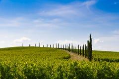 Weinberg und Zypressen in Toskana, Italien stockfoto