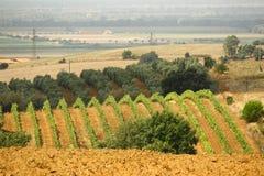 Weinberg von roten Trauben Stockfoto