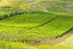 Weinberg von Sizilien Lizenzfreies Stockbild