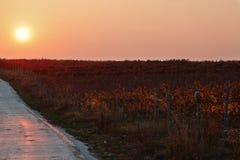 Weinberg während des Sonnenuntergangs Lizenzfreie Stockfotografie